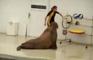 Morski lav radi sklekove, trbušnjake... (video)