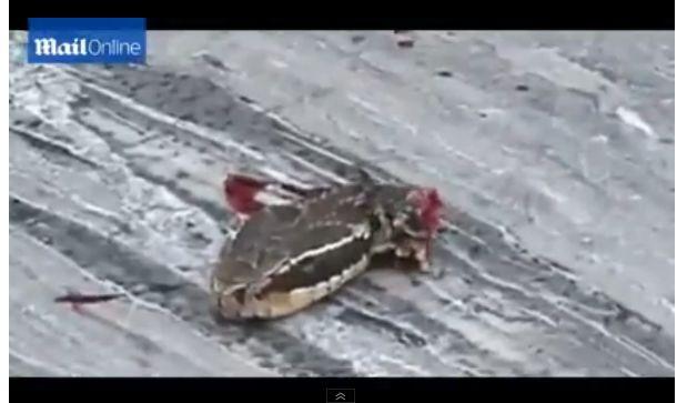 Kuvar je kobri odsjekao glavu, a onda je uslijedio SMRTONOSAN šok (video)