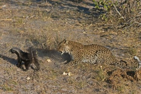 David protiv Golijata: Jazavac prebio leoparda