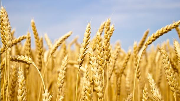 Sutra podjela sjemenske pšenice i mineralnog đubriva za 40 poljoprivrednika