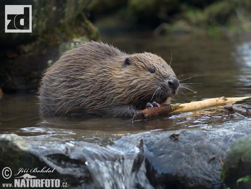 Photo of U zvorničkom Podrinju nastanila se rijetka vrsta životinja. Dabrovi stigli na Drinu?