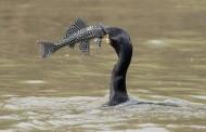 Mali Zvornik: Na Drini zimuje oko 700 kormorana