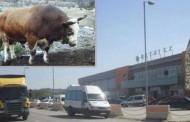 Bik mesarima pobjegao iz klaonice, pa umalo uletio u tržni centar!