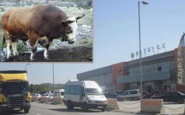 Photo of Bik mesarima pobjegao iz klaonice, pa umalo uletio u tržni centar!