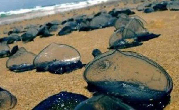 Milijarde čudnih životinja pojavilo se na obalama Amerike