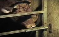 Kad pogledate ovaj snimak, shvatićete koliko su krave pametna stvorenja (video)