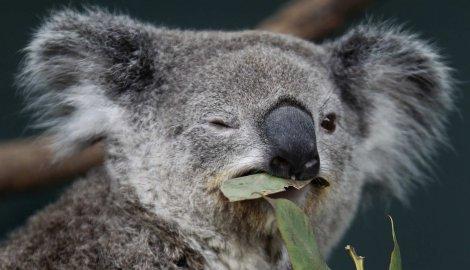 Photo of Koale ne vole da se biju i na pametan način izbjegavaju svađe