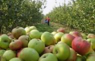Za Rusiju se dnevno izveze oko 120 tona voća
