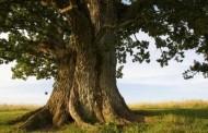 Drvo otkrilo tajnu staru 1000 godina
