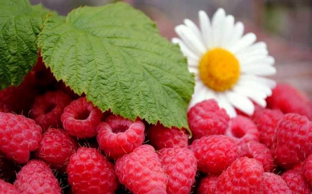 Bratunac: Podjela 300.000 sadnica maline krajem oktobra