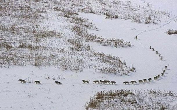 Izgleda kao sasvim obična fotografija sa vukovima. Pogledajte kakvu tajnu krije