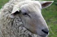 Srbija: Ovca Belka se nakon 46 dana lutanja vratila kući