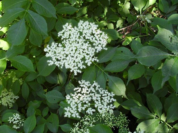 Hipokrat: Ova biljka može da zamijeni sve lijekove - koristite je!