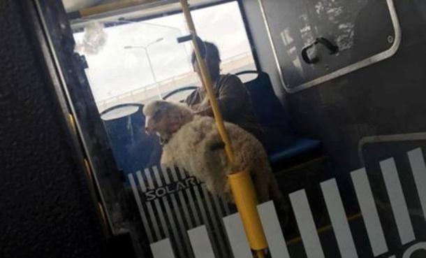 Photo of Neobičan putnik: Ovca u gradskom prevozu