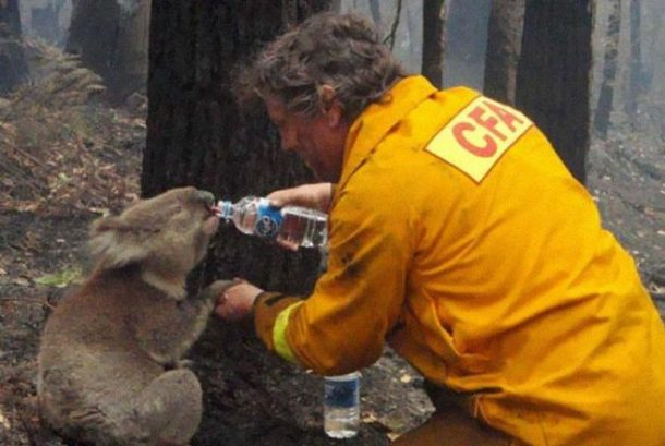 Vatrogasac daje koali vodu tokom razarajućeg šumskog požara u Australiji, 2009.