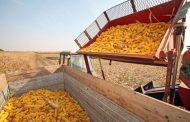 Nadprosječan prinos kukuruza u Semberiji