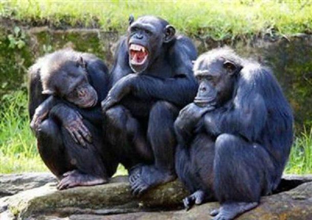 Šest šokantnih činjenica o šimpanzama