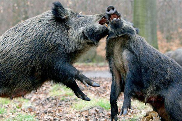 I veprovi u borbi protiv Islamske države: Divlje svinje ubile trojicu islamista
