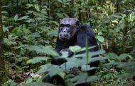 Potraga za majmunom koji je ukrao bebu