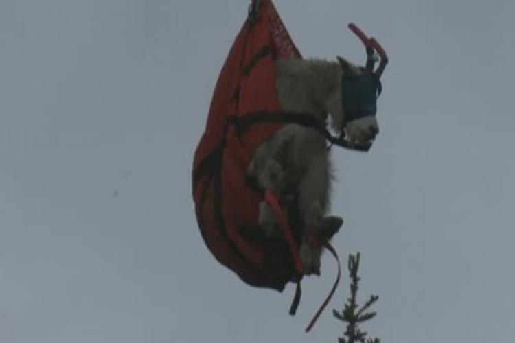 Koze izmještene sa planine jer previše jedu