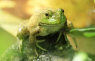 U svježoj salati pronašli živu žabu