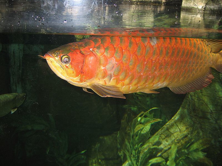 Najskuplja ribica za akvarijum na svijetu (video)