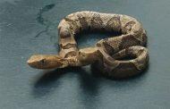 Pronađena otrovna zmija koja ima dvije glave