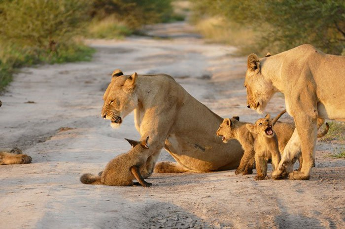 Photo of Prvi lavovi iz epruvete će spasiti izumiranje