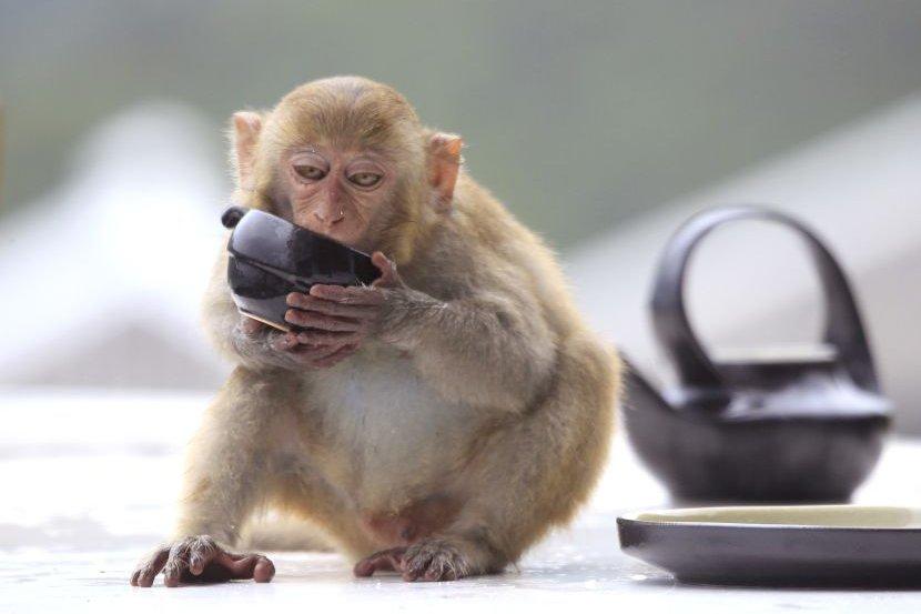 Pustio majmuna da vozi autobus pa suspendovan sa posla