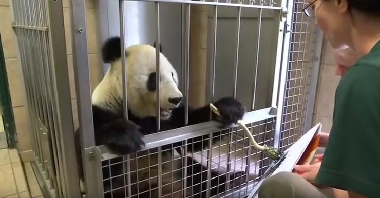 Jedna od glavnih atrakcija Beča je panda koja slika (video)