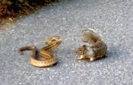 Svirepa borba vjeverice i zmije otrovnice (video)