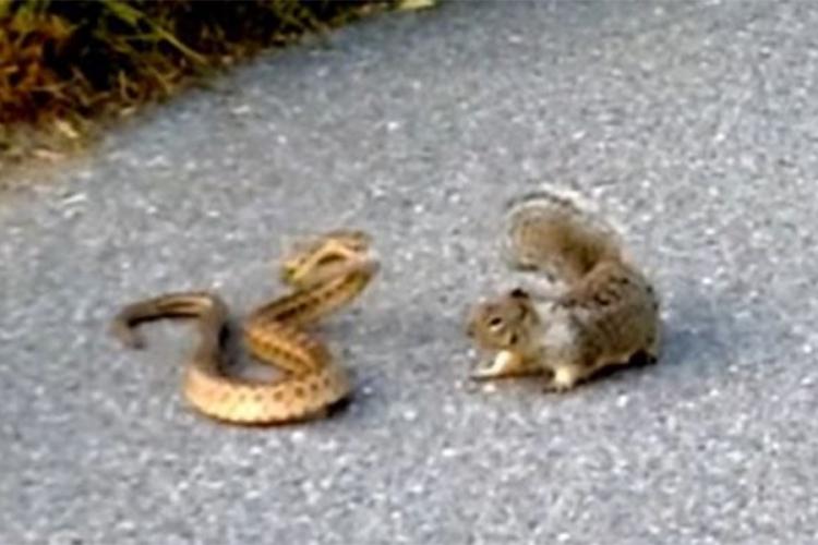 Photo of Svirepa borba vjeverice i zmije otrovnice (video)