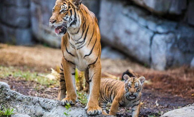 Photo of Tigar u zoo vrtu zaražen virusom korona