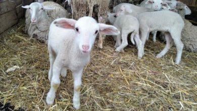 Photo of Gornji Grbavci: Ukrali jagnje pa slagali da je kupljeno