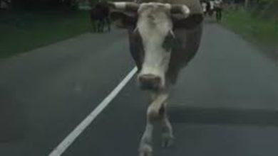 Photo of Nova internet senzacija: Graciozna krava iz Gacka zasenila manekenku /video/