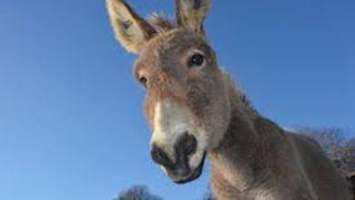 Photo of Priveli magarca i držali ga četiri dana zbog učestvovanja u ilegalnom kockanju!