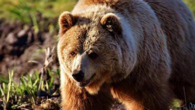 Photo of Medvjed napao čobanina, izgrizao ga i polomio mu ruke