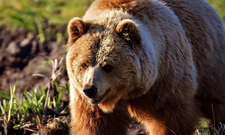 Photo of Uhvaćen najtraženiji medvjed na svijetu