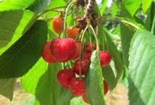 Photo of Trešnje – biser prirode i ukusna poslastica