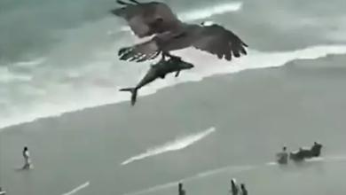 Photo of Nevjerovatan prizor: Orao oteo ajkulu (video)