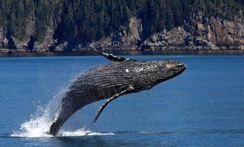 Photo of Još jedan napad grbavog kita