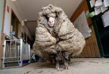 Photo of Spasili pronađenog ovna na kom je bilo 35kg runa