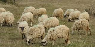 Photo of Doboj – Lažni mesar varao stočare