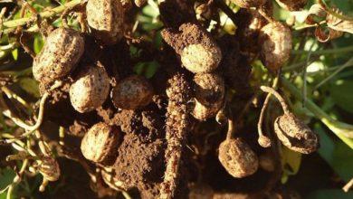 Photo of Sve što treba da znate o uzgoju kikirikija