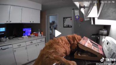 Photo of Kamera snimila psa u urnebesnom pokušaju da pojede picu dok niko ne gleda (video)