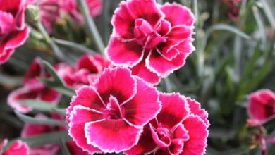 """Photo of """"Cvet bogova"""" koji voli sunce: Kako se gaji karanfil?"""