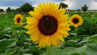 Photo of Zašto se suncokret okreće prema suncu?